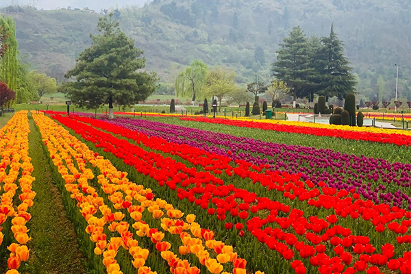 PICS: Majestic Tulip Garden in Jammu and Kashmir opens for tourists