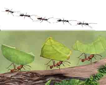 Studying ant relocation amid environmental challenges to help humans adapt