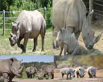 Rhino population up 35 times in 107 years